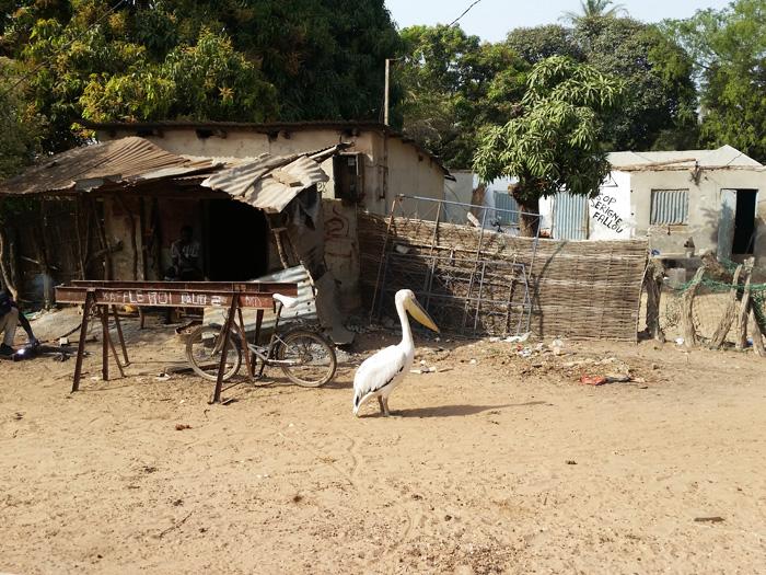 pelican-casamance