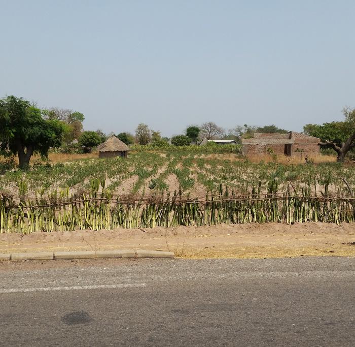 cactus-fence